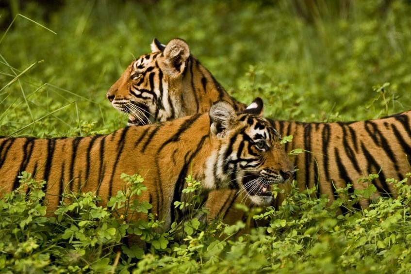 Jaipur - Ranthambore (safari)
