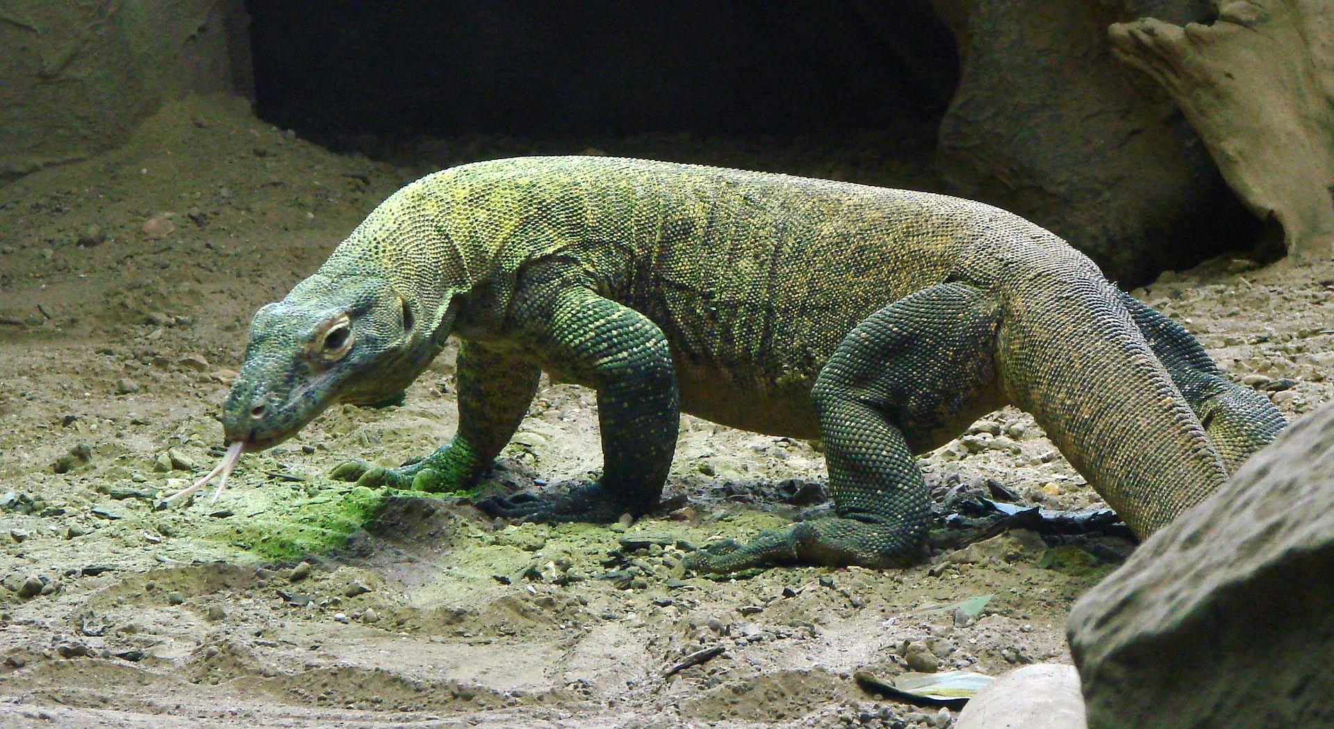 10 Faits Surprenants Sur Les Dragons De Komodo Passion Monde