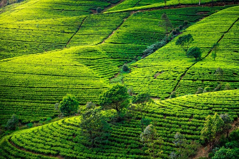 Kandy-  Peradeniya - Nuwara Eliya